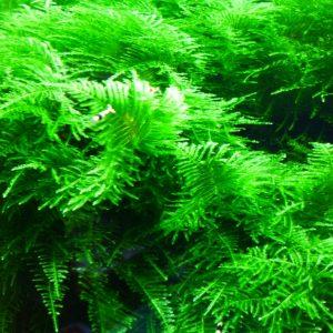 Мох Рождественский (Vesicularia montagnei, christmas moss)